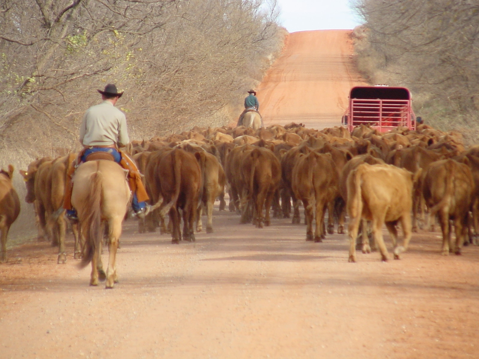 herding cattle on the Black Kettle NG