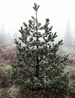 This White Pine is a rare find on the western side of the Cascades. You will more commonly find Noble Fir, Pacific Silver Fir and Douglas-fir on the Mt. Baker-Snoqualmie National Forest to cut for a Christmas tree. Photo by Kelly Sprute, US Forest Service.