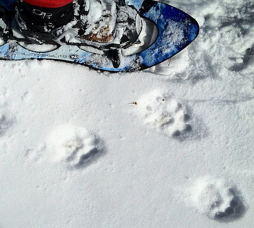 photo: close up of mt lion tracks in snow.