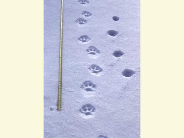 photo of lynx tracks adn coyote tracks