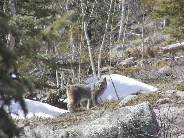 photo of lynx standing on rock ledge.