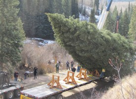 phot of tree hoisted onto truck
