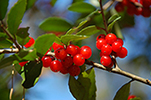 Yaupon holly branch with red berries.