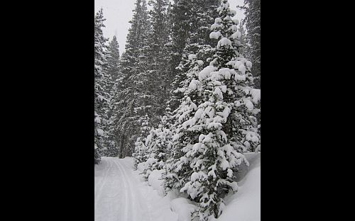 Image of trail and pines in deep snow