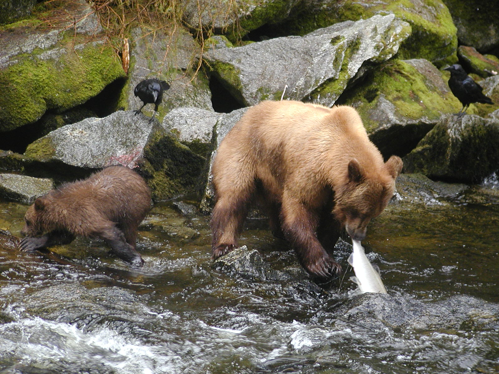 Brown Bear with Cub Fishing