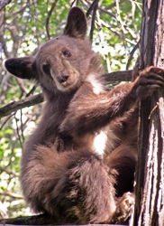 This black bear cub was photographed in a tree on the San Bernardino National Forest.