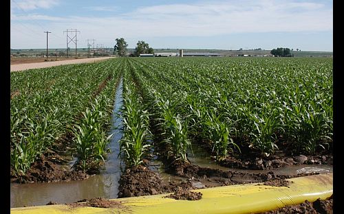 Image of irrigation ditch through corn field