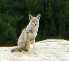 Color photo of a Coyote sitting on Grinding Stone rock in South Lake Tahoe, California.