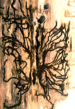 Image- of channels in tree bark for eggs