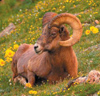 Big Horn sheep sititng on grass