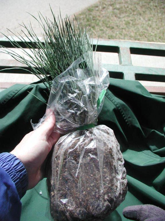 Bundle of Ponderosa Pine Seedlings