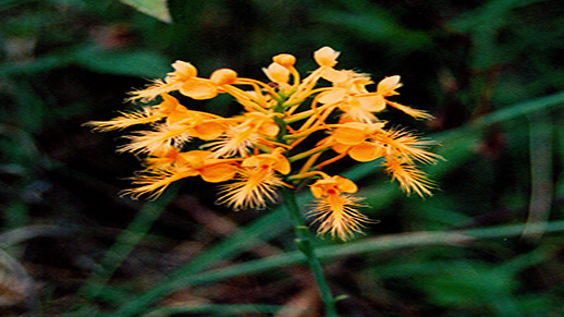 A fringed orchid on the Savannah River Site