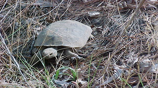 A gopher tortoise pokes through the brush on the Savannah River Site