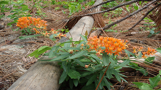 A butterfly weed over a log at the Savannah River Site