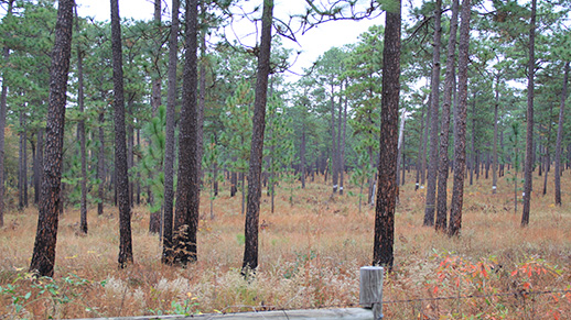 A longleaf pine stand in the Savannah River Site