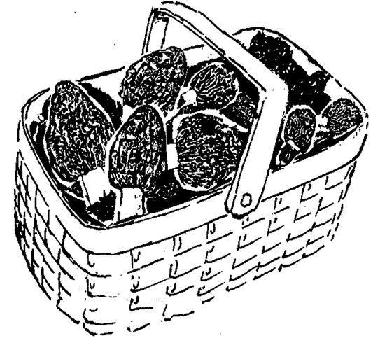 Sketch of basket of Morel mushrooms