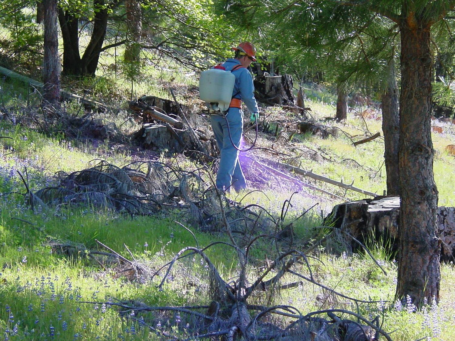 Forest Service employee on the Eldorado National Forest spraying herbicide using a backpack sprayer, targeting yellow starthistle seedlings in the spring.  The herbicide is visible as a purple mist due to the colorant added to the mixture.  In an older ponderosa pine plantation, on a hillside.  The employee is wearing coveralls, a hardhat, goggles, and gloves as part of the required personal protective equipment for this type of work.