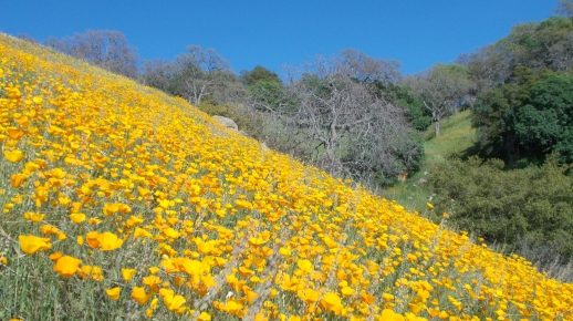 California Poppies along the Tule River Canyon