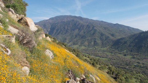 California Poppies in the Lower Tule River Canyon