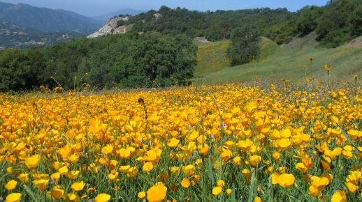 California Poppies along the Kings Canyon Scenic Byway