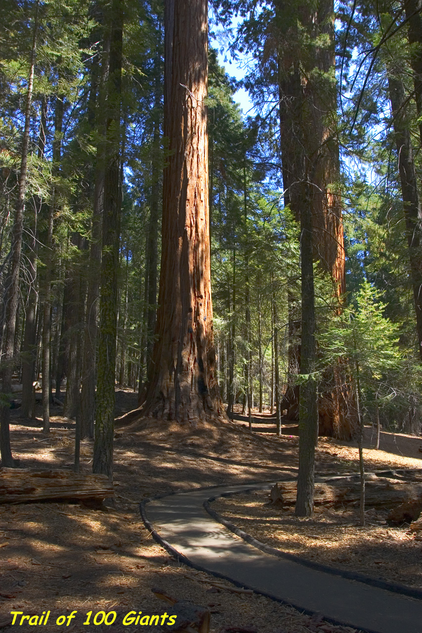 Spots of sunlight dot the paved trail as it winds through shady giant sequoia trees.