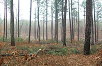 Image of restoration completed, shortleaf pine woods with mature trees in a wide range of sizes.
