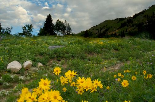 Photo of Alta Wildflowers