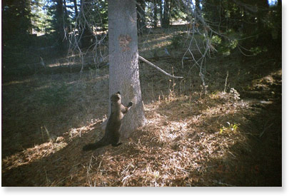 Image of Fisher on hind legs at the base of a tree.