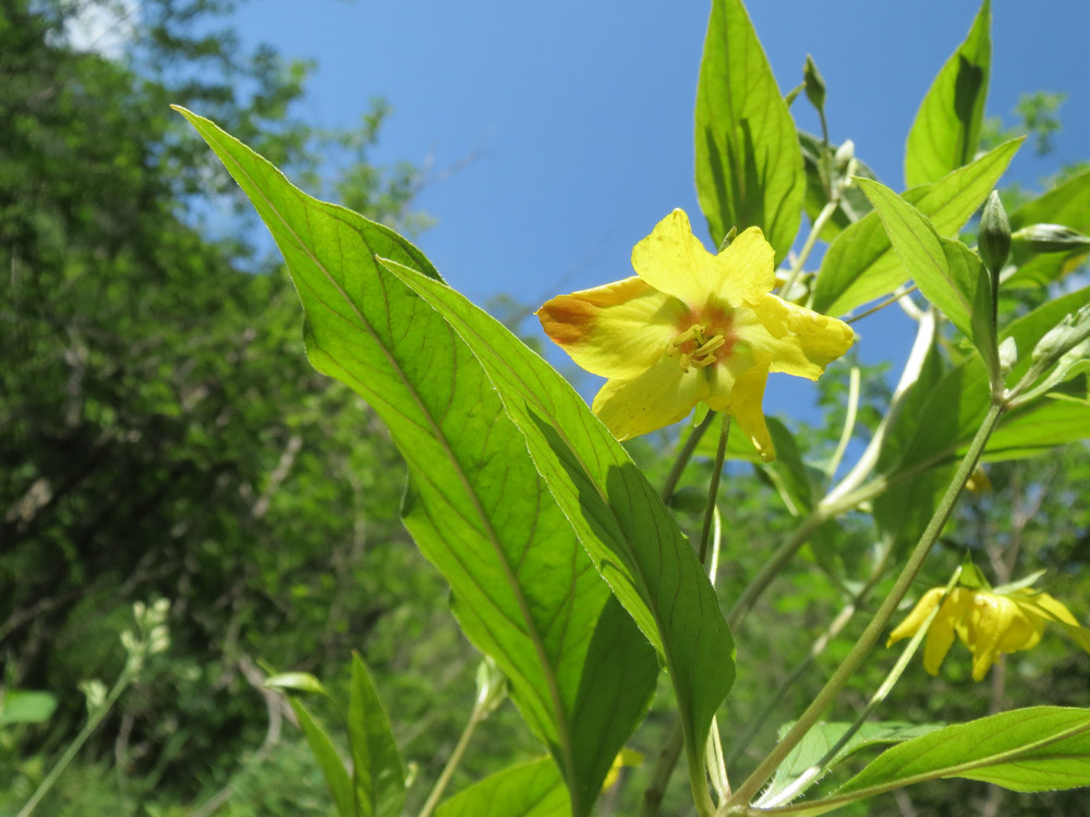 Fringed loosestrife - Photo by Chelsea Monks