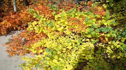 Shrubs reveal fall color that ranges from light green and lemon yellow to a deep red.