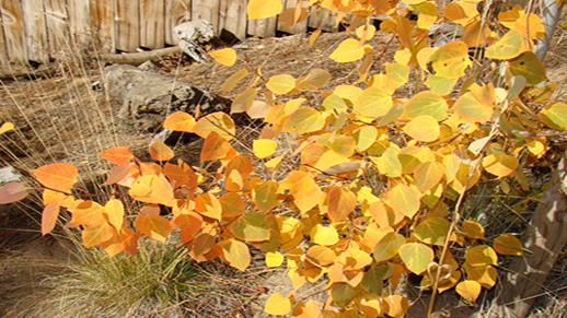 Golden and orange aspen leaves.