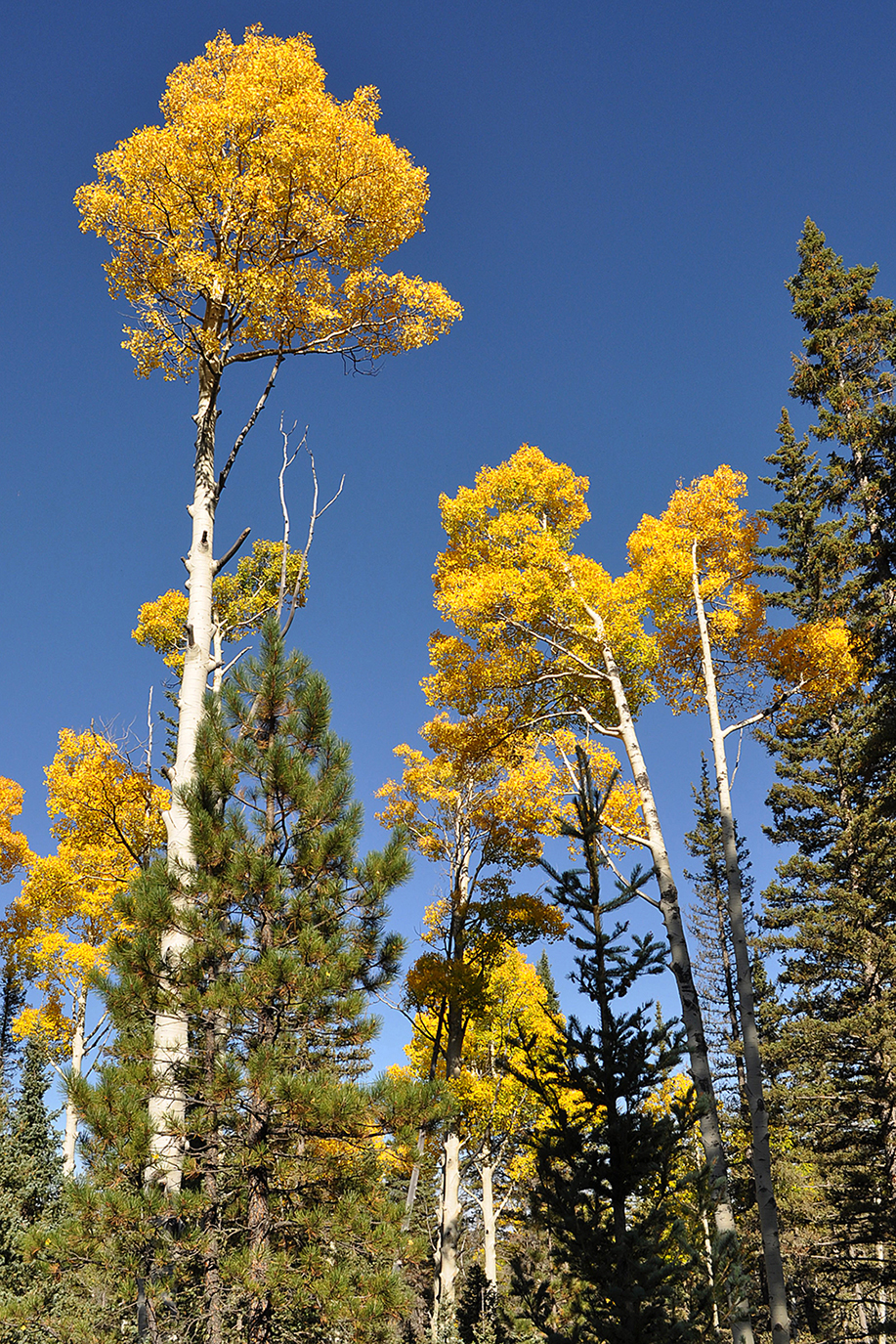 Tall Yellow Aspen Trees with Blue Sky