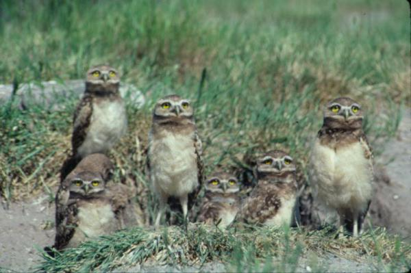 Six burrowing owls looking at the camera in a field of grass