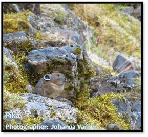 A pika among moss covered, talus rocks.