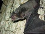 Image of gray bat.