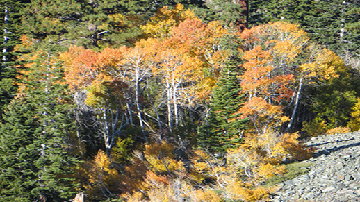 A grove of yellow and orange aspen at Glen Alpine.