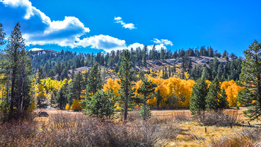 A golden aspen grove is seen among the pines in Hope Valley.