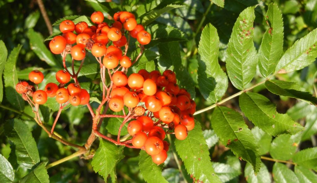 Native plant - mountain ash