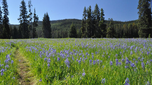 Camas flowers dot the green grass in Packers Meadows.