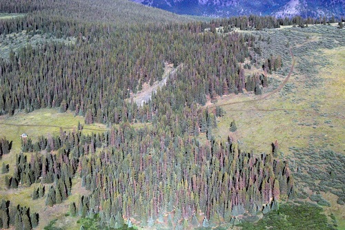 Spruce Beetle – San Juan National Forest; east of Lake San Cristobal, CO. 2013.