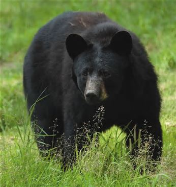 photograph of black bear walking in the grass