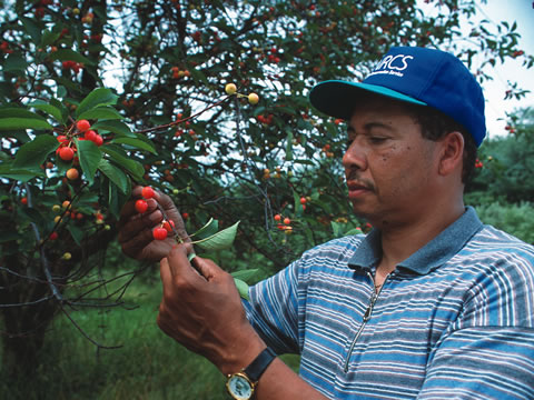 NRCS employee looking at coffee berries on the trees.