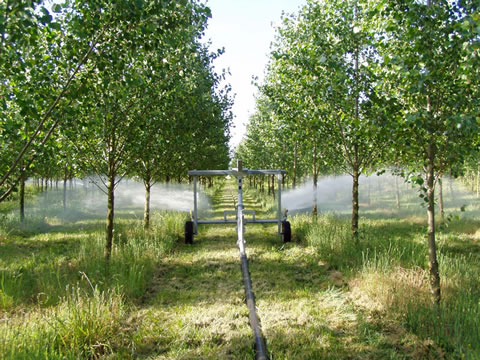 Spray cart spraying wastewater between rows of poplar trees.