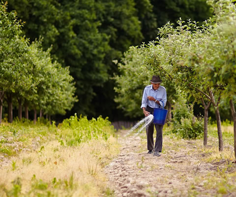 A man scattering fertilizer by hand in an olive grove.