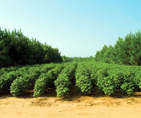 Alley cropping system consisting of pine trees and cotton