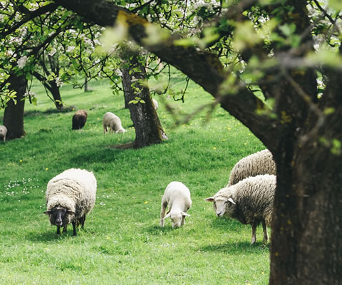 Sheep grazing under fruit trees.