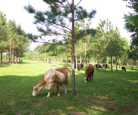 Cattle grazing among scattered young pine trees.