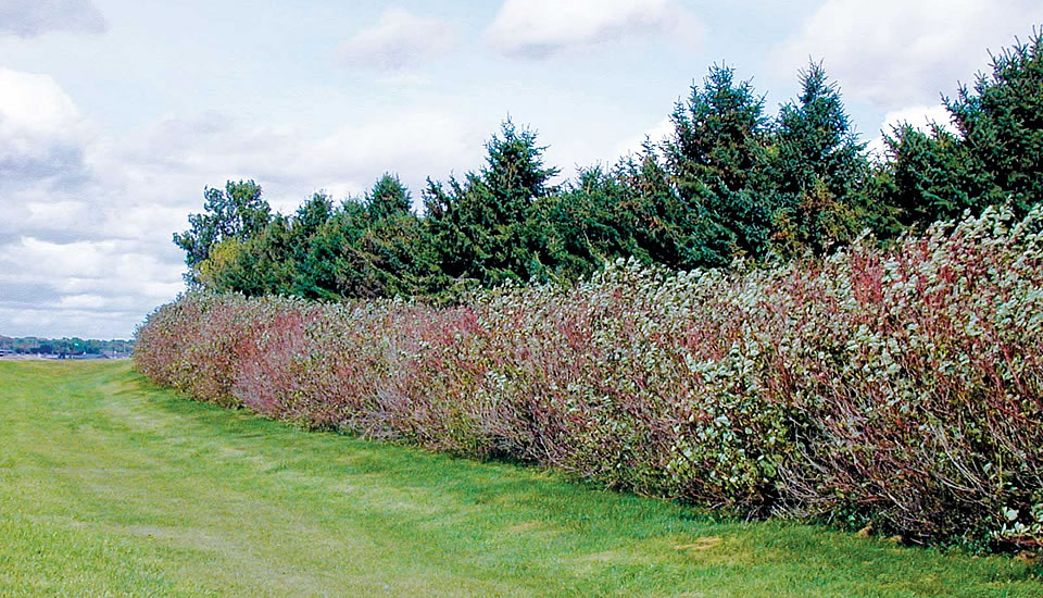 Spruce windbreak with additional red-stemmed dogwoods planted along its edge with a pasture.