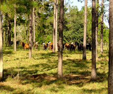 Cattle graze within a stand of trees