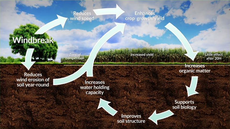 Soil health diagram showing the interrelationships of windbreaks upon crops soil health factors.